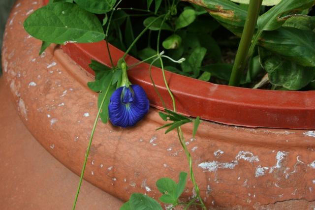 Clitoria ternata, mini grimpante aux fleurs d'un bleu remarquable Clitor10