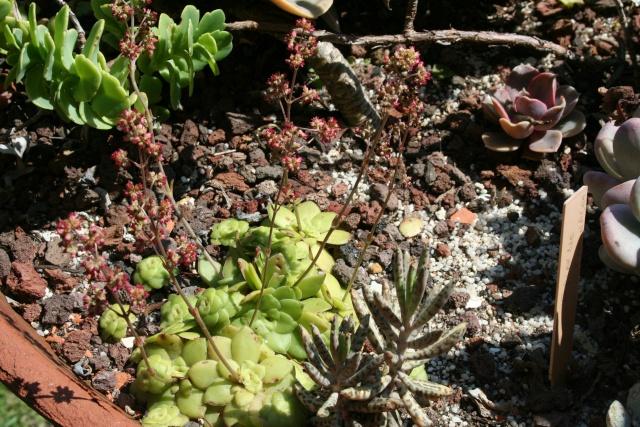 Les succulentes du jardin Crassu15
