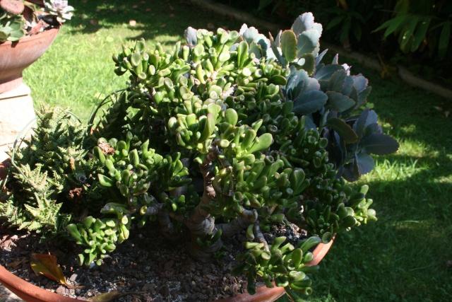 Terrasse aux succulents en cette fin septembre Crassu17