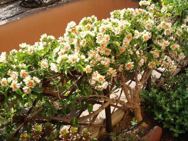Floraison explosive de mon Cactus à feuilles ! Dsc00013