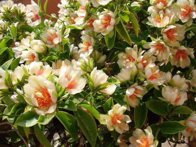 Floraison explosive de mon Cactus à feuilles ! Dsc00015
