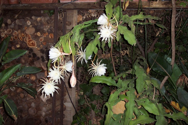 Rose nuptiale de Thaïlande - Epiphyllum oxypetalum Epiphy11