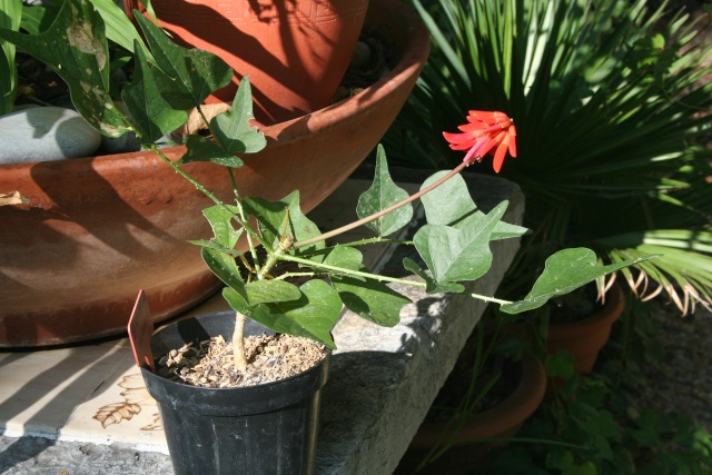 Erythrina humeana, excellente plante pour la culture en pot Erythr12