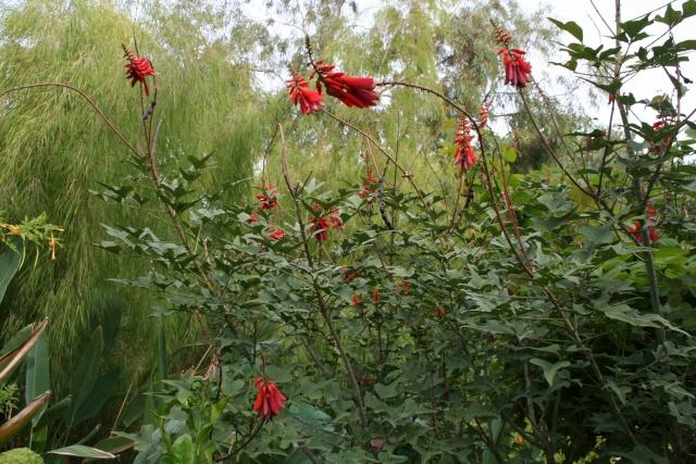 Erythrina humeana, excellente plante pour la culture en pot Erythr13