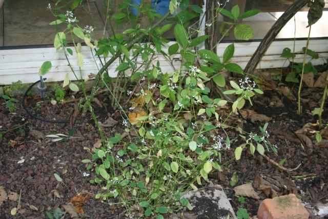 Euphorbia ' Diamond Frost ', une floraison record Euphor20