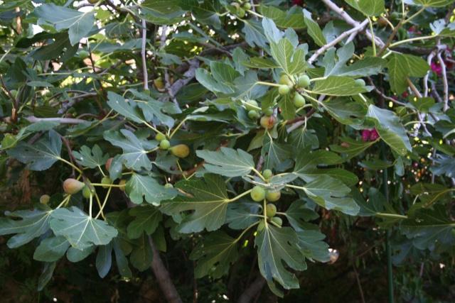 Ficuas carica ' Goutte d'Or ' Ficus_10