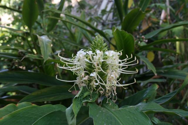 Canna edulis et Hedychium flavescens en fleurs Hedych27