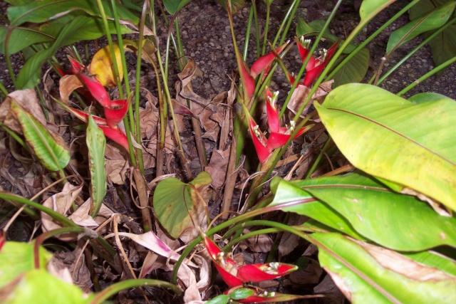 heliconia stricta dwarf jamaican Helico10
