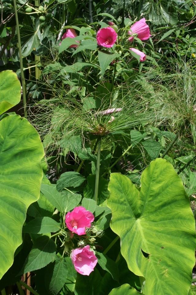 Hibiscus pallustris, bel ornement du bassin Hibisc10