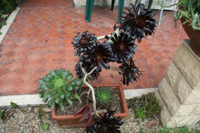 Aeonium Jardin11