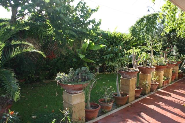 Senecio stapeliformis Jardin13