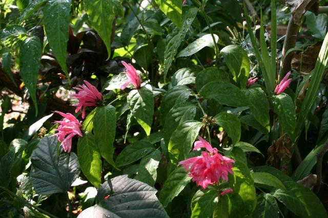 Dianthera nodosa - Justicia nodosa Justic10