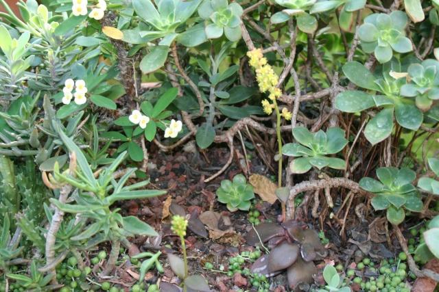 Lenophyllum reflexum en fleurs Leucot10