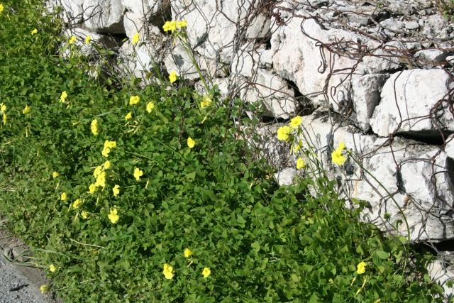 Autres plantes rencontrées dans la petite ballade moto de ce matin Oxalis11
