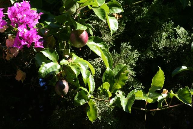 Fruit de la passion géant, promesse de deuxième récolte Paasif10