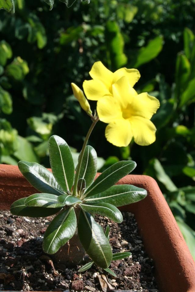 Pachypodium rosulatum var gracilius en fleurs Pachyp25
