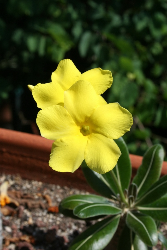 Pachypodium rosulatum var gracilius en fleurs Pachyp26
