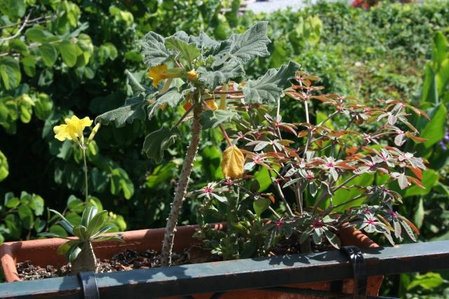Pachypodium rosulatum var gracilius en fleurs Pachyp27