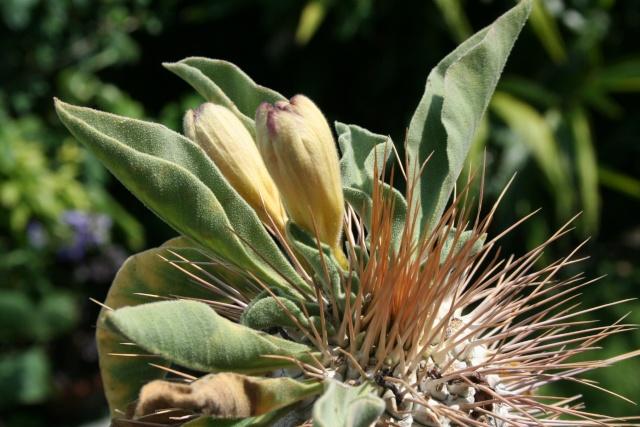 Boutons de fleurs sur mon Pachypodium namaquamum Pachyp30