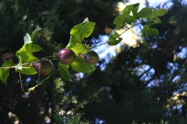 Fruit de la passion géant, promesse de deuxième récolte Passif21