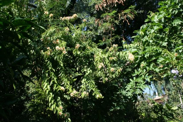 Floraison explosive de mon Cactus à feuilles ! Peresk19