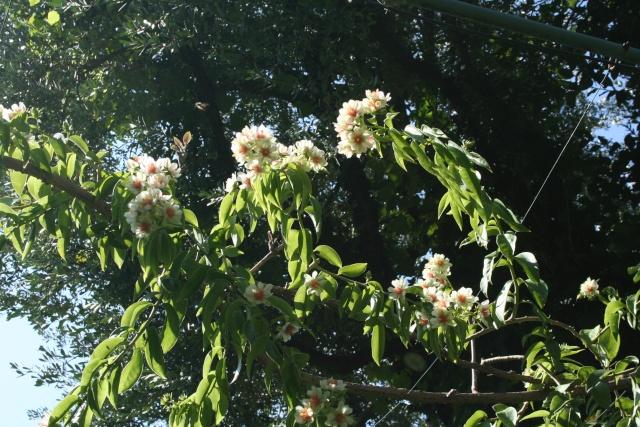Floraison explosive de mon Cactus à feuilles ! Peresk20