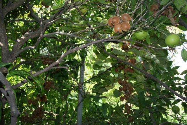 Acca sellowiana ( Fejoa ) début de récolte, et autres fruits de saison Pomelo10