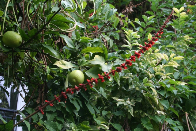 Salvia confertiflora Salvia10