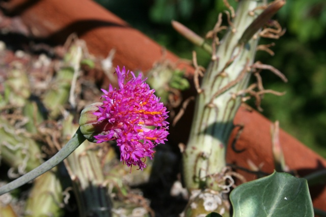 Senecio mweroensis, un fleur de couleur particulière Seneci19