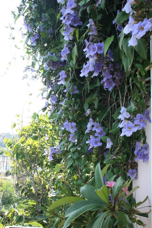 Thunbergia grandiflora, pleine floraison en ce moment Thunbe17