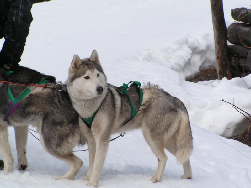 Nos loups grandissent, postez nous vos photos - Page 2 Traine10