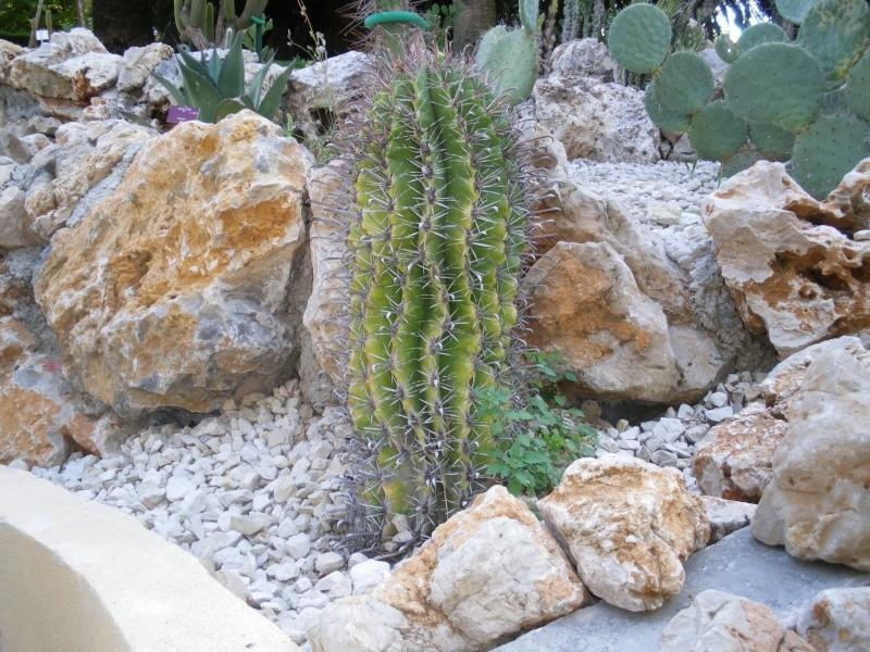 Cactées et plantes grasses du parc Phénix Imgp0512