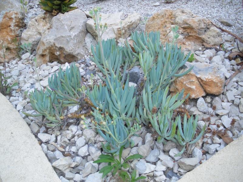 Cactées et plantes grasses du parc Phénix Imgp0513