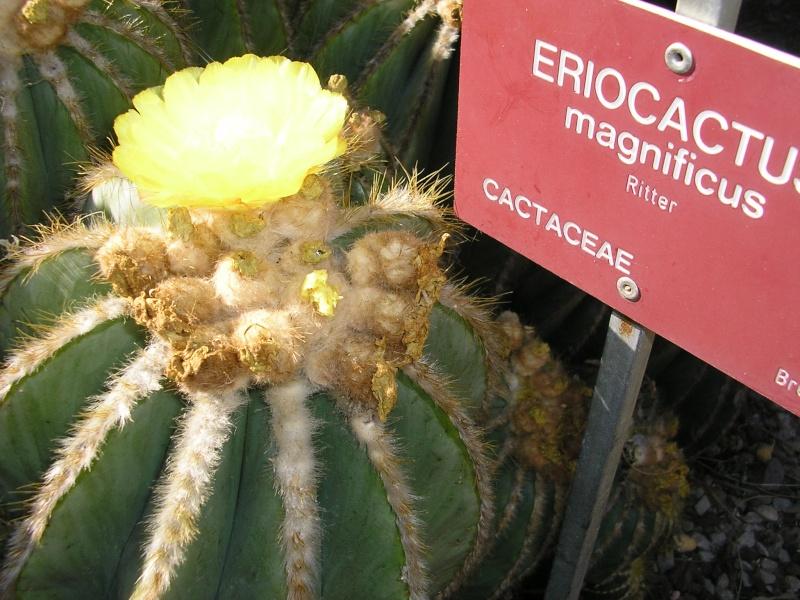 Cactées et plantes grasses du parc Phénix P1012031