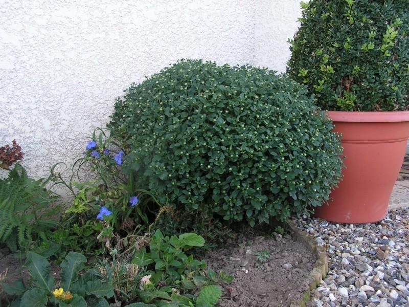 A propos des chrysantheme 24_sep10