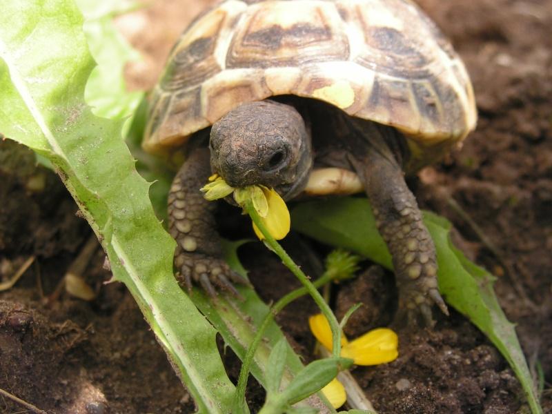 """éhéhéhéhéh  je vous presente mes bebes tortues """"zoé et lola"""" 59910"""