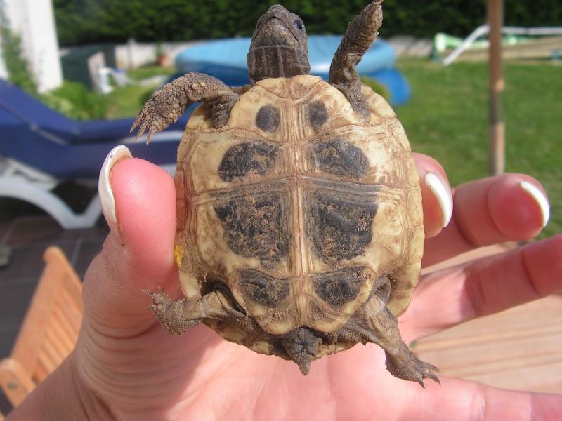 """éhéhéhéhéh  je vous presente mes bebes tortues """"zoé et lola"""" Foto_t21"""