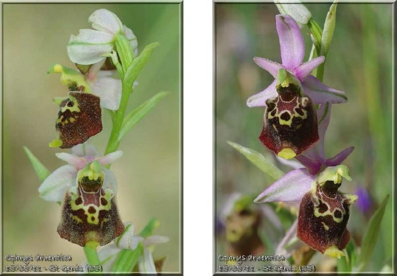 Ophrys druentica (Ophrys de la Durance) Druent10