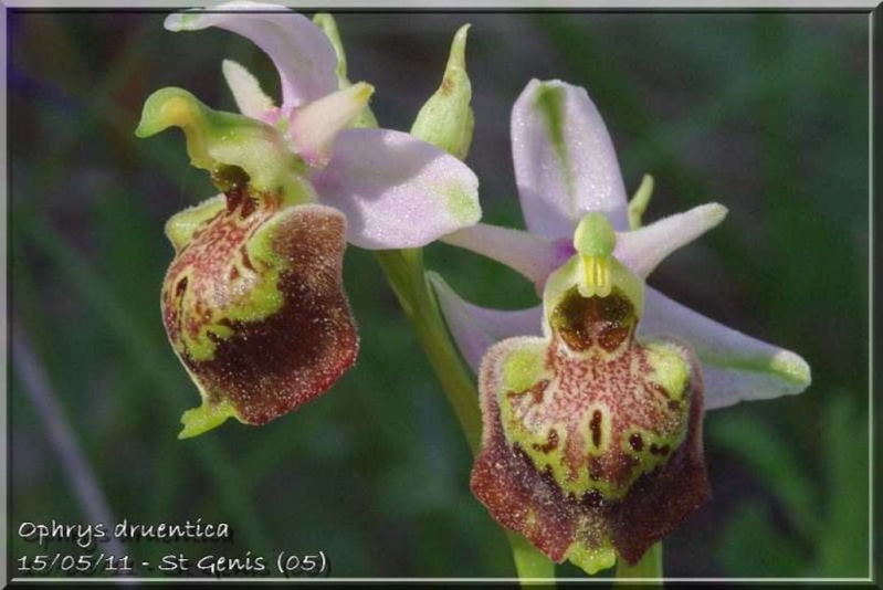 Ophrys druentica (Ophrys de la Durance) Druent11