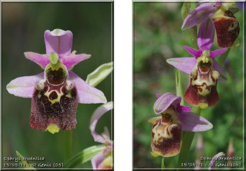 Ophrys druentica (Ophrys de la Durance) Druent12