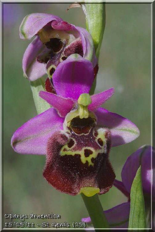 Ophrys druentica (Ophrys de la Durance) Druent14