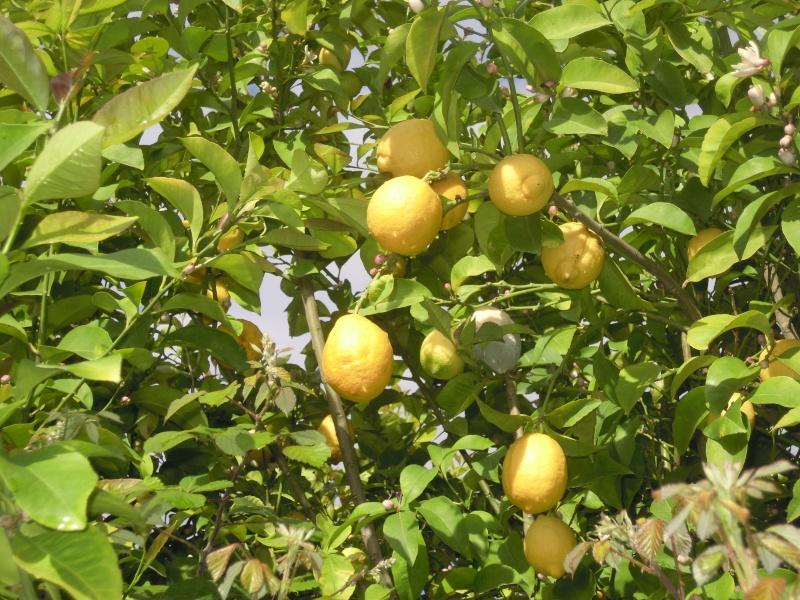 des Citrons au Baudon Dscn6527