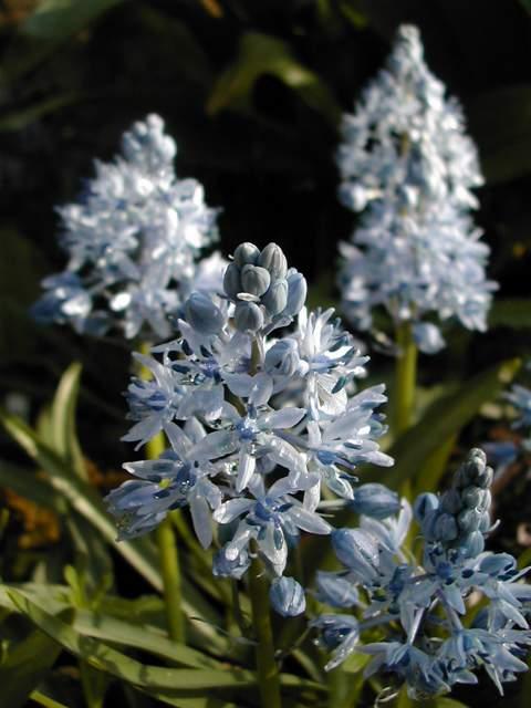 Hyacinthoides italica Hyacyn11
