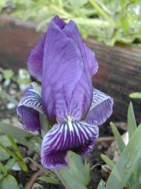 Le 1er iris barbu en fleur Iris_c10