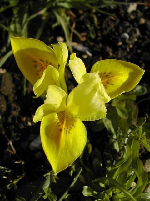 Iris réticulés 2009 - Page 2 Iris_d10