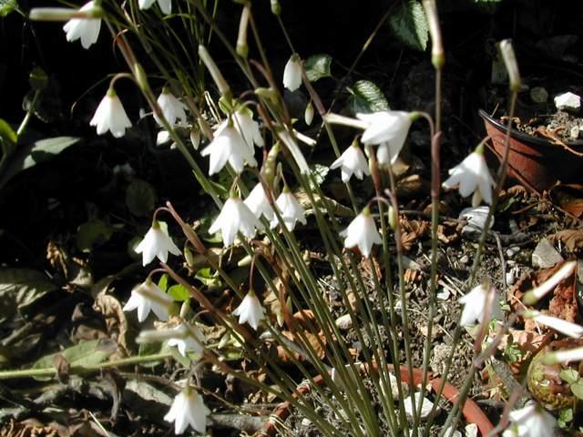 Leucojum aestivum ssp. pulchellum Leucoj11