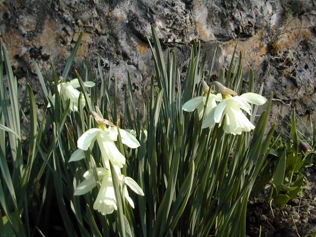 C'est la saison des narcisses Narcis11