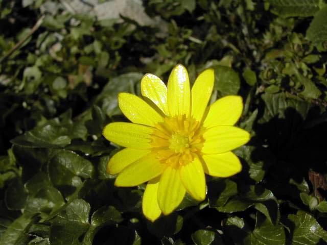 Les cultivars de Ranunculus ficaria Ranunc11