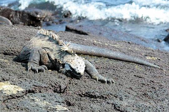 Les 100 plus belles photos animalières de l'année Iguane10