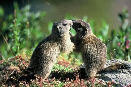 Les 100 plus belles photos animalières de l'année Marmot10